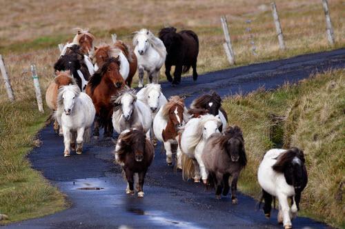 Khám phá xứ sở của những chú ngựa chân ngắn dễ thương - 3