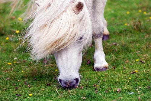 Khám phá xứ sở của những chú ngựa chân ngắn dễ thương - 5
