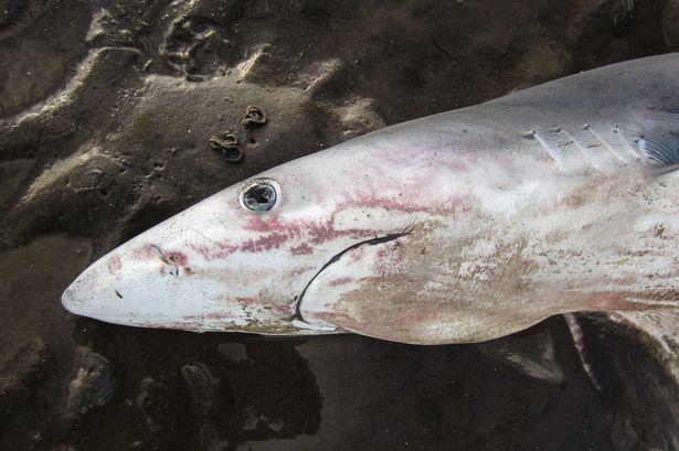 """Cá mập xanh """"mặt buồn"""" kì lạ dạt bờ biển Scotland - 1"""