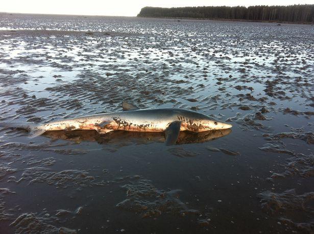 """Cá mập xanh """"mặt buồn"""" kì lạ dạt bờ biển Scotland - 4"""