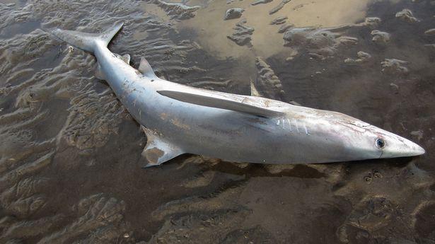 """Cá mập xanh """"mặt buồn"""" kì lạ dạt bờ biển Scotland - 2"""