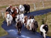 Khám phá xứ sở của những chú ngựa chân ngắn dễ thương