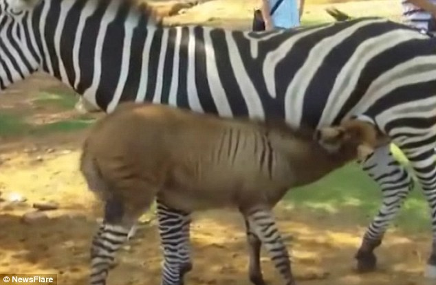 Lừa lai ngựa vằn cực hiếm trên thế giới - 1