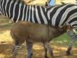 Lừa lai ngựa vằn cực hiếm trên thế giới