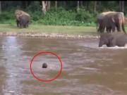 Clip: Voi con lao xuống dòng nước xiết cứu chủ
