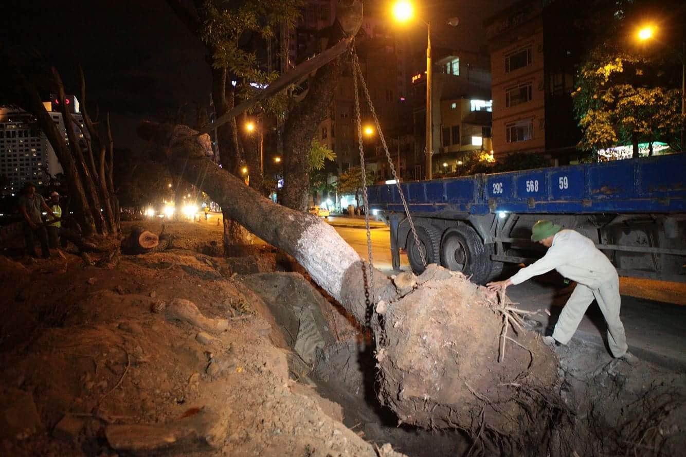 """Trắng đêm bứng gốc, di dời """"cụ cây"""" trên đường Kim Mã - 7"""