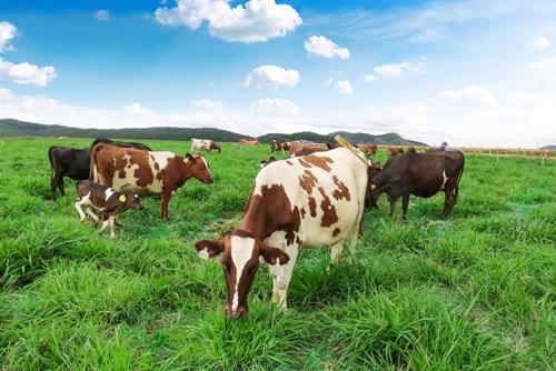 Trang trại bò sữa Organic chuẩn Châu Âu đầu tiên tại Việt Nam của Vinamilk - 1