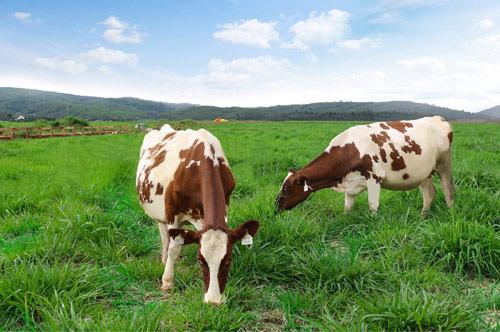 Trang trại bò sữa Organic chuẩn Châu Âu đầu tiên tại Việt Nam của Vinamilk - 2
