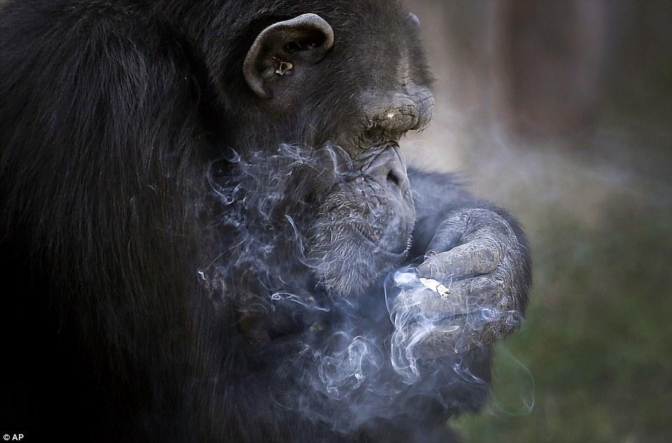 Tinh tinh trong vườn thú Triều Tiên hút thuốc như người - 2