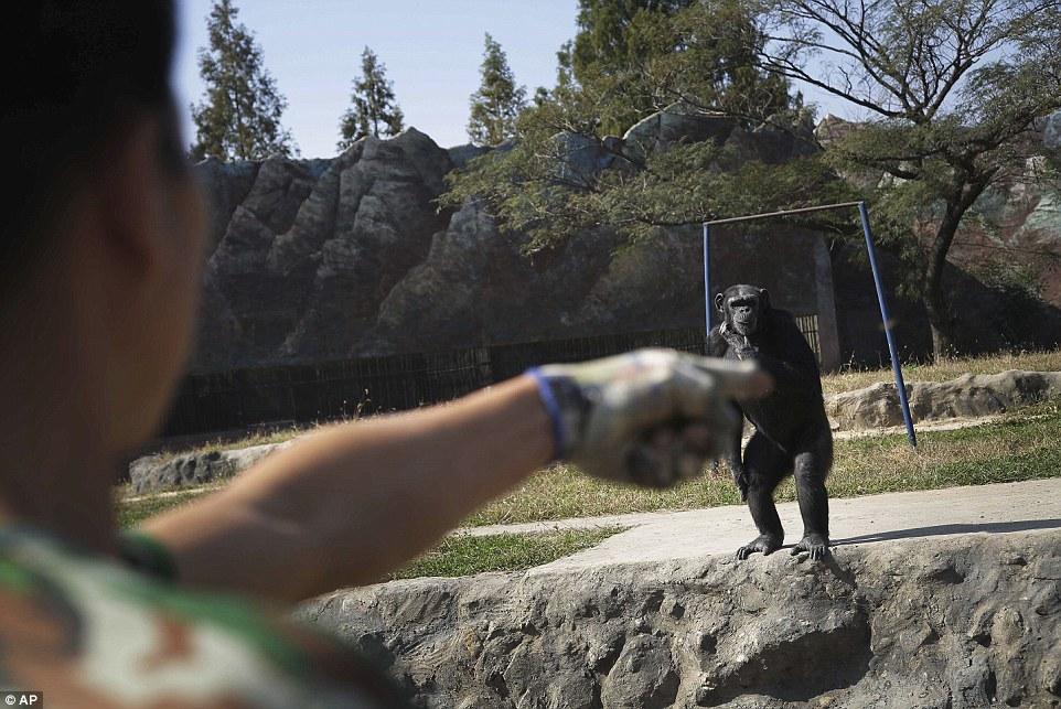 Tinh tinh trong vườn thú Triều Tiên hút thuốc như người - 5