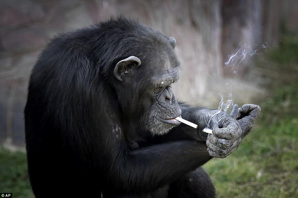 Tinh tinh trong vườn thú Triều Tiên hút thuốc như người - 1