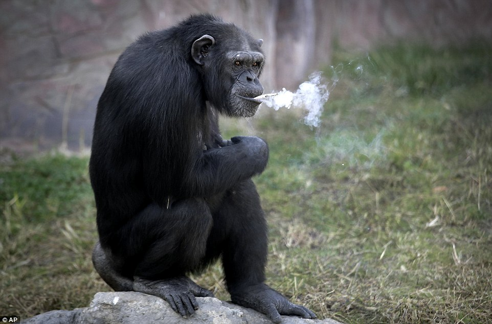Tinh tinh trong vườn thú Triều Tiên hút thuốc như người - 4