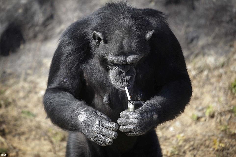 Tinh tinh trong vườn thú Triều Tiên hút thuốc như người - 3