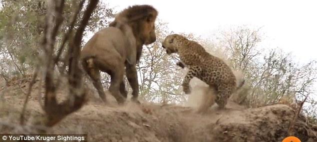 Video: Sư tử rình mò, tấn công báo đang say ngủ - 1