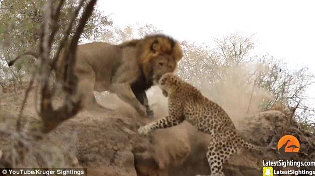 Video: Sư tử rình mò, tấn công báo đang say ngủ - 2
