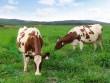 Trang trại bò sữa Organic chuẩn Châu Âu đầu tiên tại Việt Nam của Vinamilk