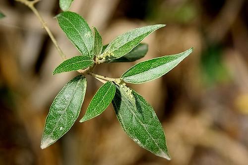 Khổ sâm – Cây thuốc của núi rừng tốt cho người viêm hang vị - 2