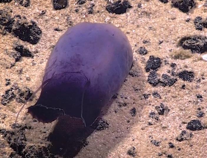 Những sinh vật màu tím kì lạ dưới đáy Thái Bình Dương - 4