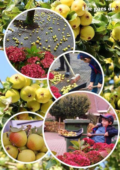 """""""Lác mắt"""" vườn lê, táo sai lúc lỉu của bà mẹ Việt Kiều - 14"""