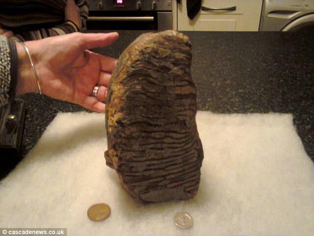Anh: Nhặt được răng của voi ma mút 3 triệu năm tuổi - 1