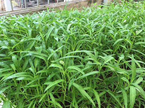 Vườn rau 50m2 ăn không xuể của bà mẹ Hà thành - 5