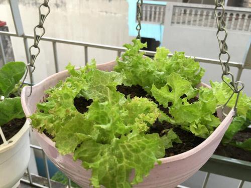 Vườn rau 50m2 ăn không xuể của bà mẹ Hà thành - 7
