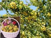 """Bạn trẻ - Cuộc sống - """"Lác mắt"""" vườn lê, táo sai lúc lỉu của bà mẹ Việt Kiều"""