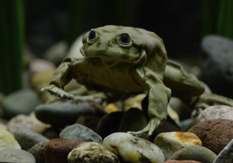 10.000 con ếch quý hiếm chết đột ngột ở Peru - 1