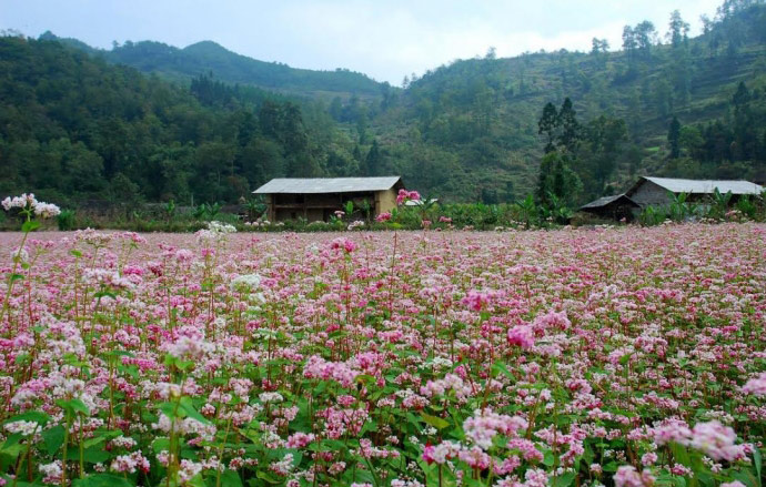 Hà Giang - mùa hoa tam giác mạch nhuộm thắm sườn đồi - 1