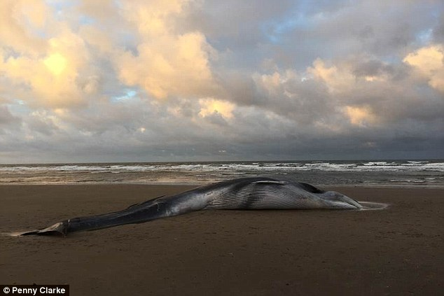 Cá voi lưng xám khổng lồ 12m dạt bờ biển nước Anh - 2