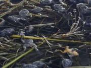 Phi thường - kỳ quặc - 10.000 con ếch quý hiếm chết đột ngột ở Peru