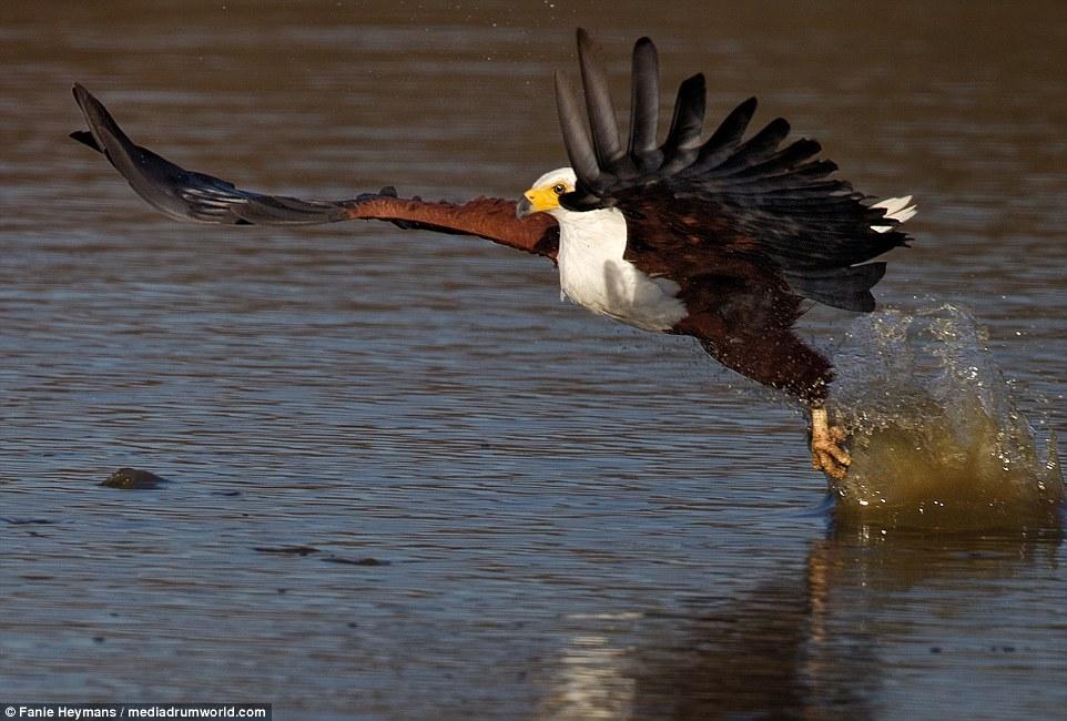 Đại bàng dũng mãnh cướp mồi trước mũi cá sấu - 3