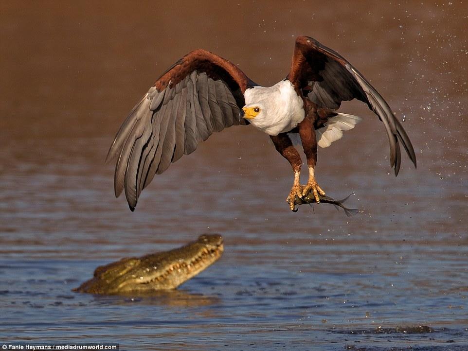 Đại bàng dũng mãnh cướp mồi trước mũi cá sấu - 5