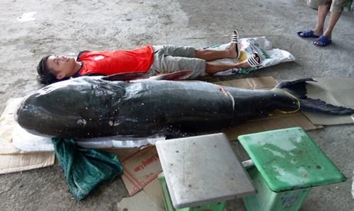Bắt được cá tra dầu 'khủng', nặng 130 kg trên sông Sêrêpốk - 2