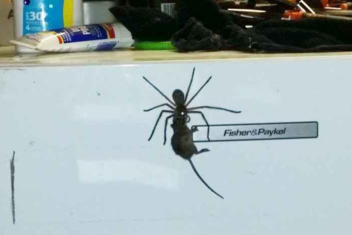 Hoảng hốt khi thấy nhện thợ săn khổng lồ tha chuột trên tủ lạnh - 1