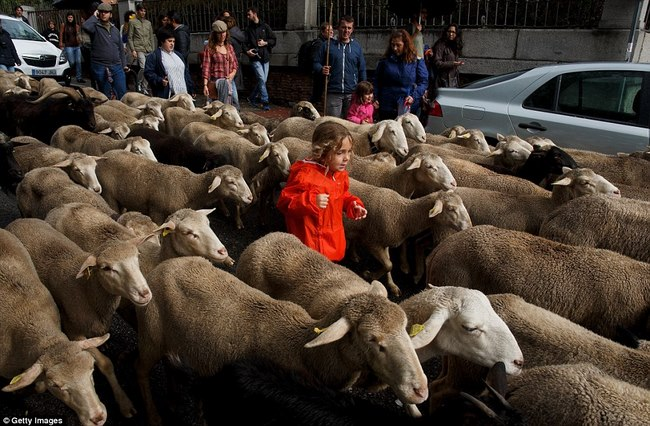 Hàng trăm con cừu diễu hành ở thủ đô Tây Ban Nha - 5