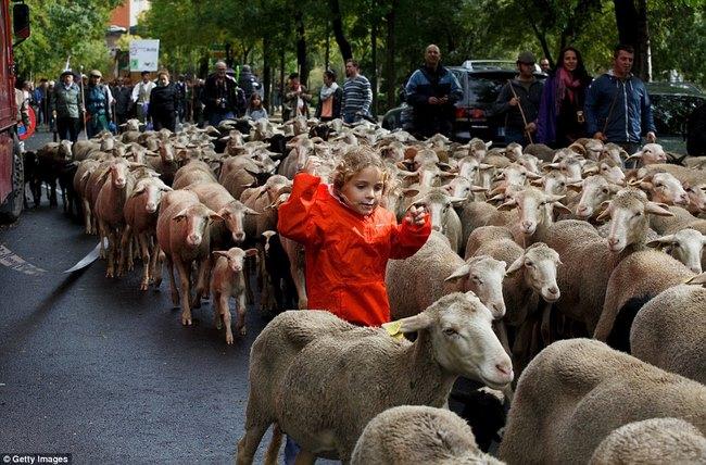 Hàng trăm con cừu diễu hành ở thủ đô Tây Ban Nha - 6