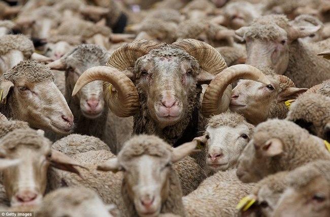 Hàng trăm con cừu diễu hành ở thủ đô Tây Ban Nha - 3