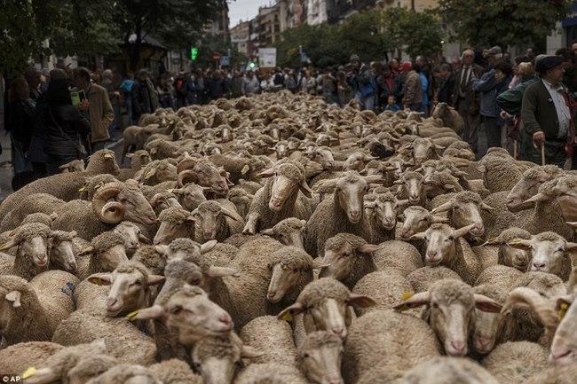 Hàng trăm con cừu diễu hành ở thủ đô Tây Ban Nha - 4