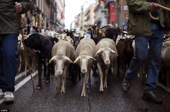 Hàng trăm con cừu diễu hành ở thủ đô Tây Ban Nha - 1