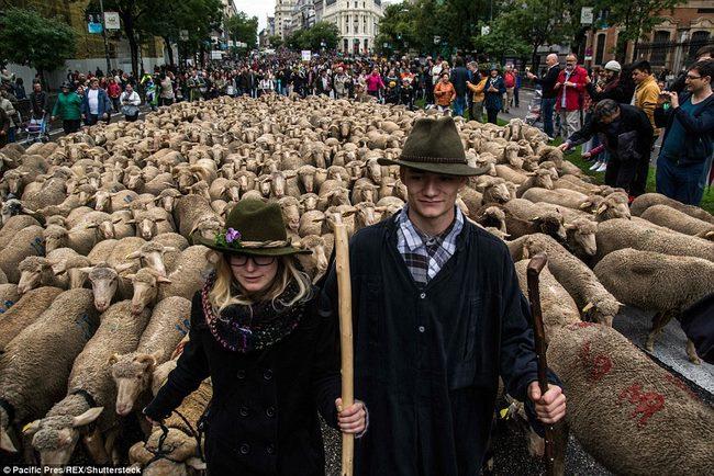 Hàng trăm con cừu diễu hành ở thủ đô Tây Ban Nha - 2