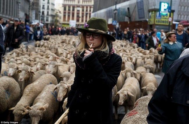 Hàng trăm con cừu diễu hành ở thủ đô Tây Ban Nha - 7