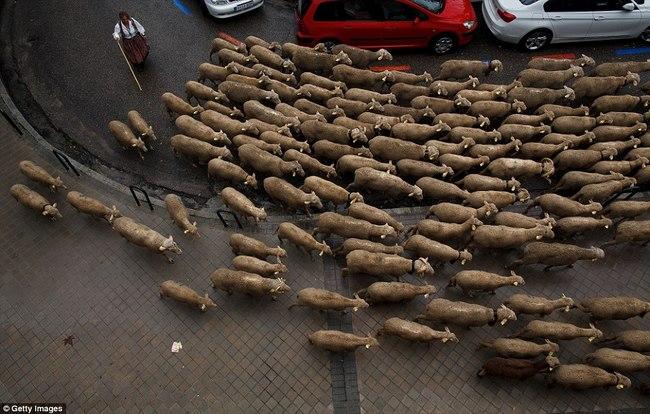 Hàng trăm con cừu diễu hành ở thủ đô Tây Ban Nha - 8