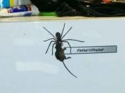 Phi thường - kỳ quặc - Hoảng hốt khi thấy nhện thợ săn khổng lồ tha chuột trên tủ lạnh