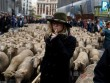 Hàng trăm con cừu diễu hành ở thủ đô Tây Ban Nha