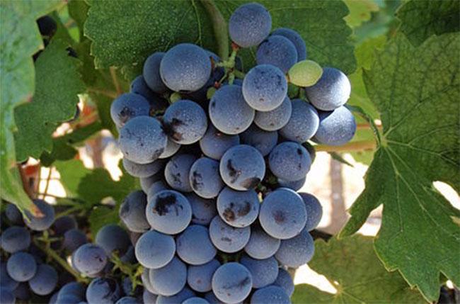 Đại gia TQ thâu tóm rượu vang Bordeaux, dân Pháp lo ngại - 6