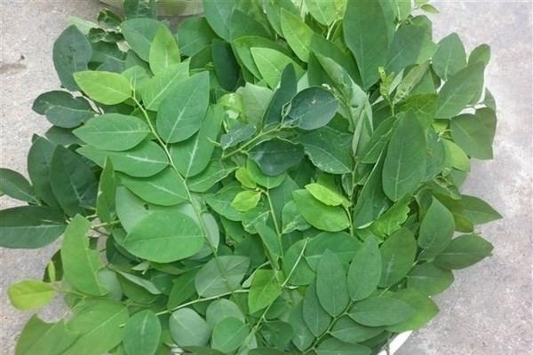 Thực hư ăn rau ngót bị sảy thai - 1