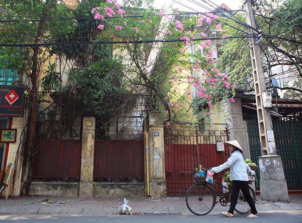 Những giàn hoa giấy khiến Hà Nội trở nên thơ hơn - 3