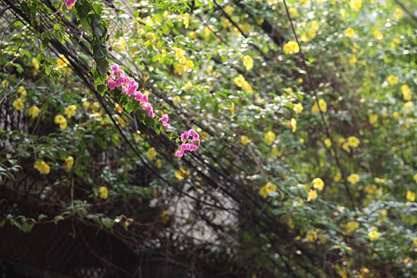 Những giàn hoa giấy khiến Hà Nội trở nên thơ hơn - 2