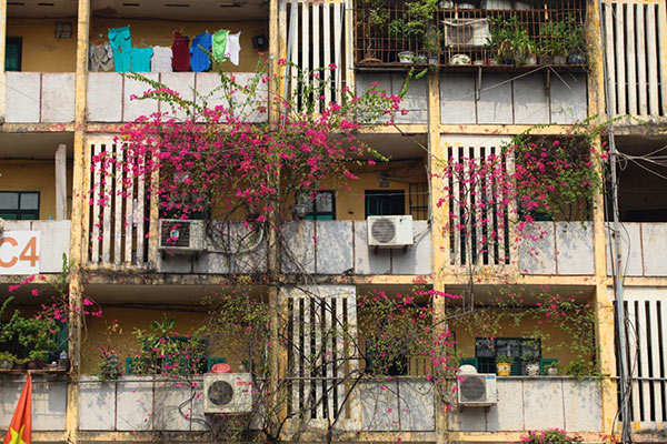 Những giàn hoa giấy khiến Hà Nội trở nên thơ hơn - 6